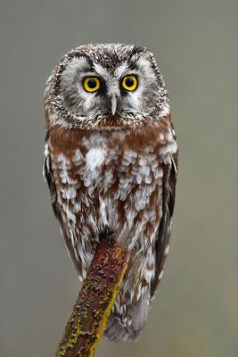 Rauhfußkauz, Nationalpark Bayrischer Wald Tierfreigelände Neuschönau