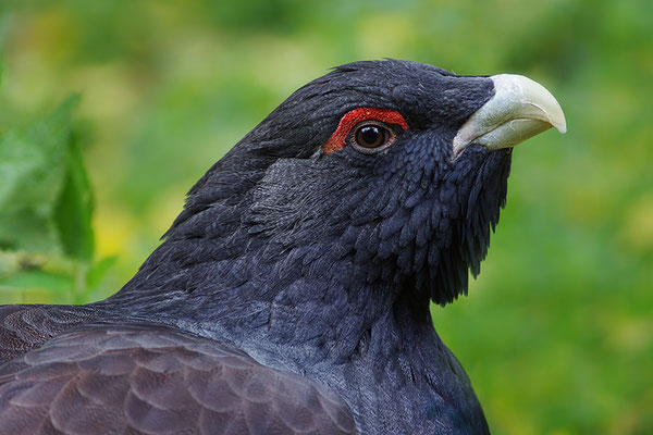 Auerhahn Männchen Kopfportrait