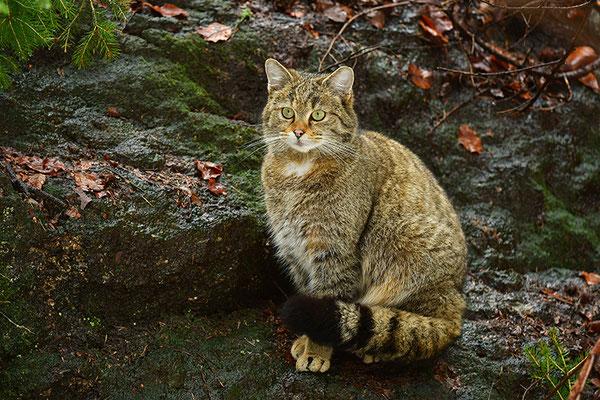 Wildkatze, Nationalpark Bayrischer Wald Tierfreigelände Neuschönau