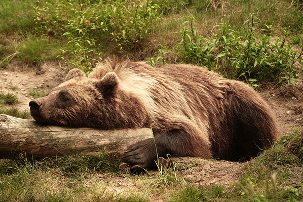 Braunbär schlafend