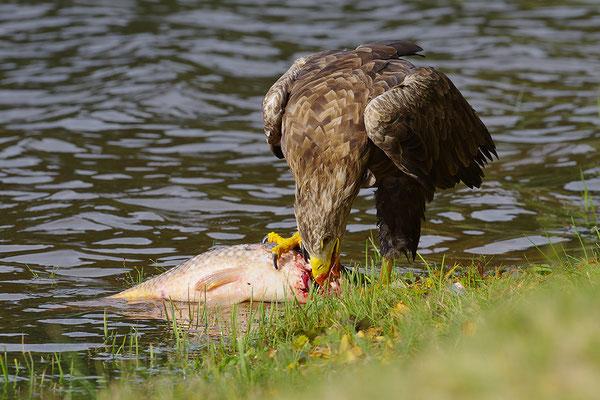 Seeadler frisst an Fisch