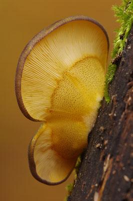 Gelbstieliger Muschelseitling
