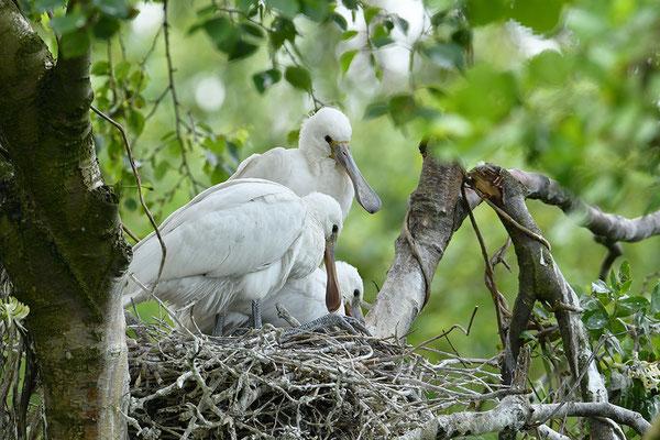 Löffler Jungvögel im Nest