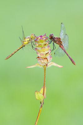 Blutrote Heidelibelle Paar