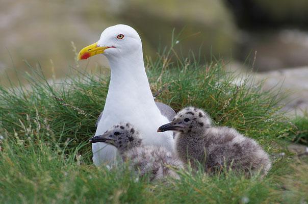 Silbermöwe mit Jungvögeln