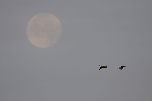 Graugänse vor dem Mond