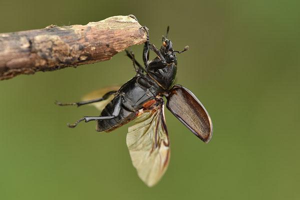 Hirschkäfer Weibchen im Anflug