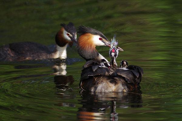 Haubentaucher mit Jungvögeln