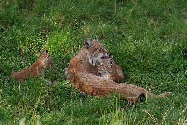 Luchs Mutter mit Jungen