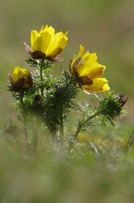Frühlingsadonisröschen im Gegenlicht