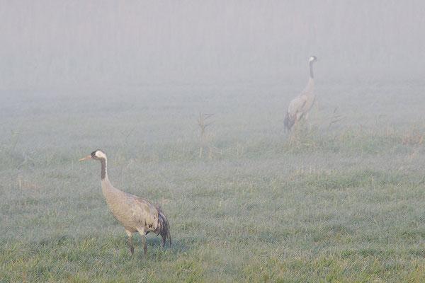 Kraniche im Nebel