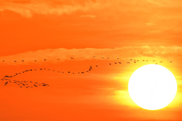 Kraniche im Flug vor dem Sonnenuntergang