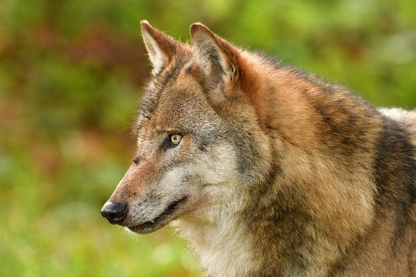 Wolf Kopfportrait