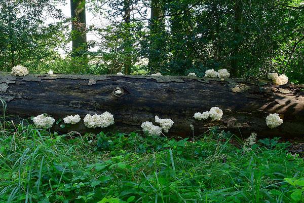 Ästiger Stachelbart im Biotop