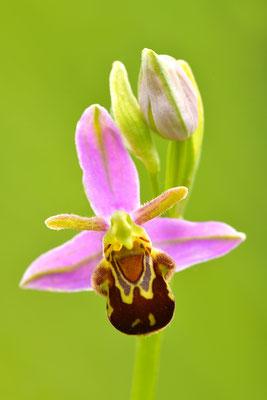 Bienenragwurz var. aurita