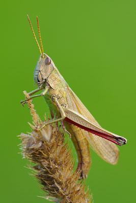 Goldschrecke Weibchen