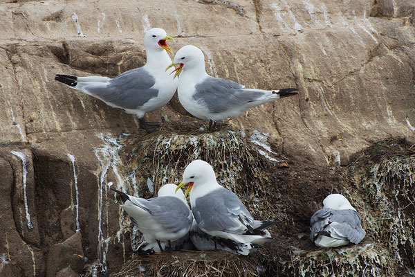 Dreizehenmöwen am Nest