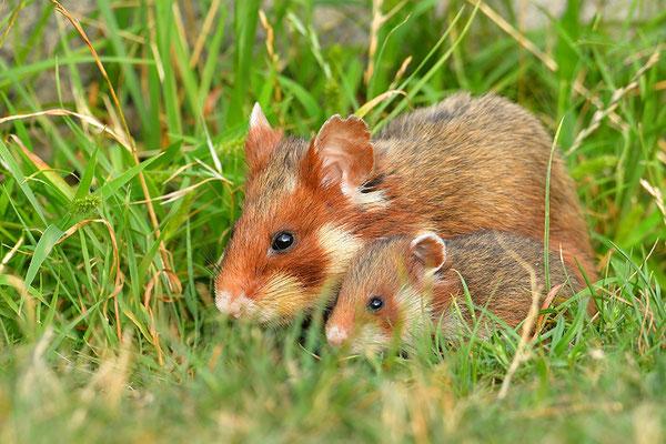 Feldhamster Muttertier mit Jungem