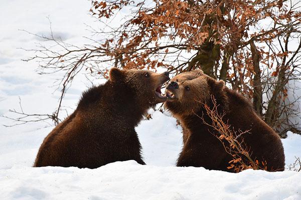 Braunbären beim Spielen, Nationalpark Bayrischer Wald Tierfreigelände NeuschönauBraunbären kämpfend