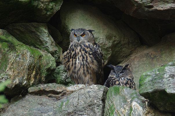 Uhu Paar, Nationalpark Bayrischer Wald Tierfreigelände Neuschönau
