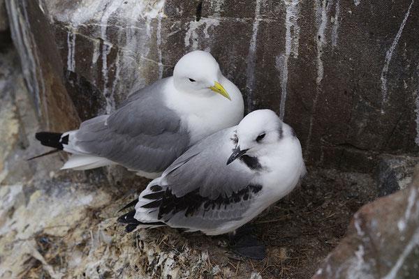 Dreizehenmöwe am Nest mit flüggem Jungvogel