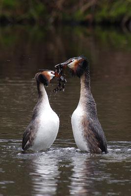Haubentaucher Pinguintanz