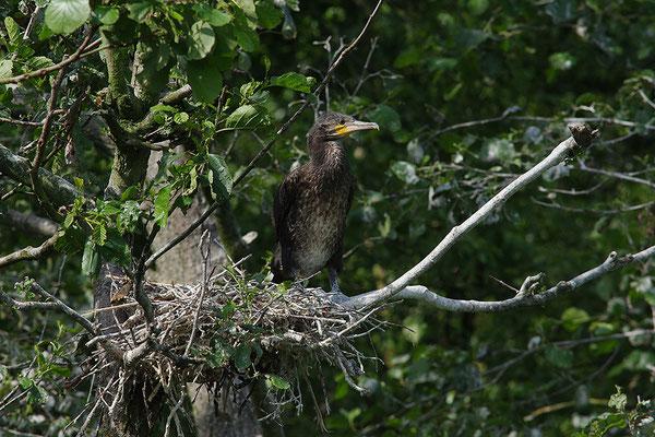 Kormoran Jungvogel am Nest