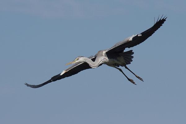 Graureiher Jungvogel fliegend