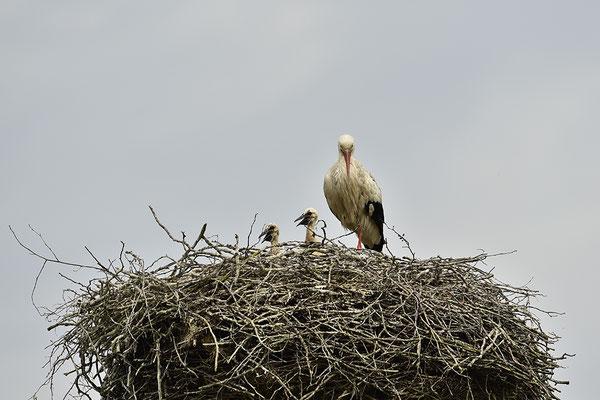 Weißstorch mit Jungvögeln am Nest