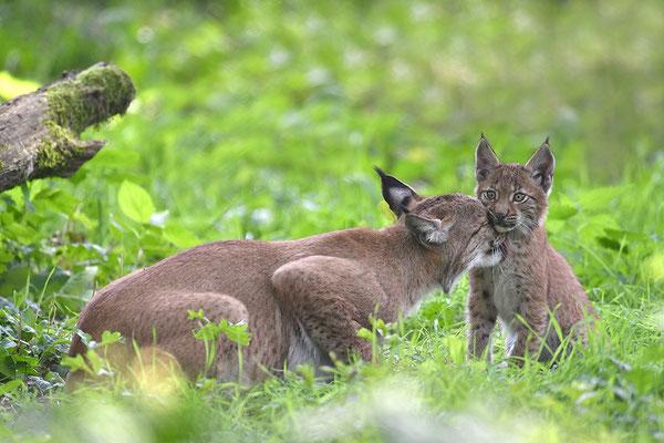 Luchs, Wildpark Anholter Schweiz