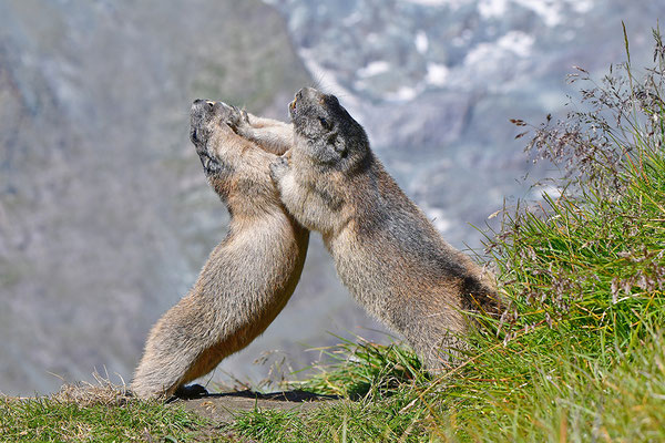 Murmeltiere im Kampf