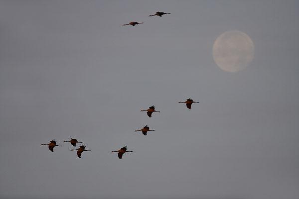Kraniche im Flug vor dem Mond
