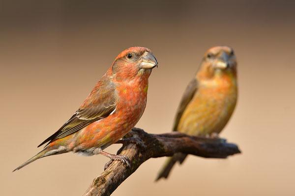 Fichtenkreuzschnabel Männchen vorne, Kiefernkreuzschnabel Männchen hinten