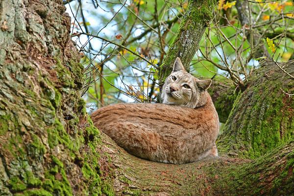 Luchs im Baum