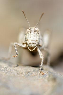 Blauflügelödlandschrecke