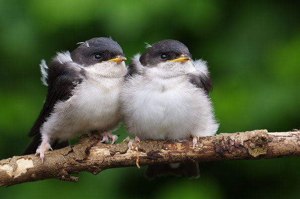 Junge Mehlschwalben