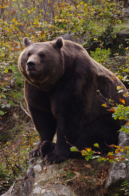Braunbär, Nationalpark Bayrischer Wald Tierfreigelände Neuschönau