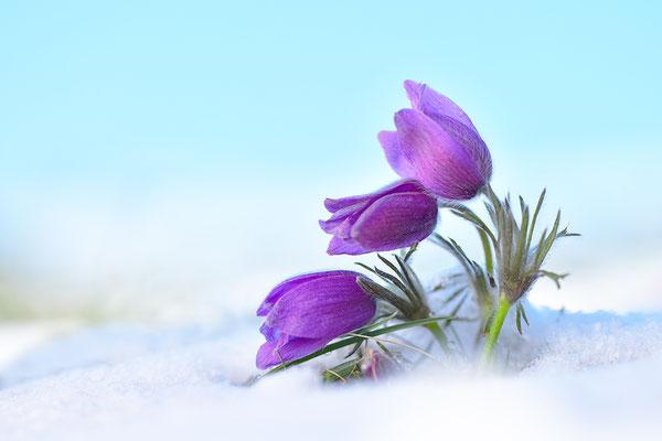 Küchenschelle im Schnee