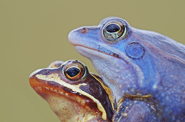 Moorfrosch Paar Kopfportrait