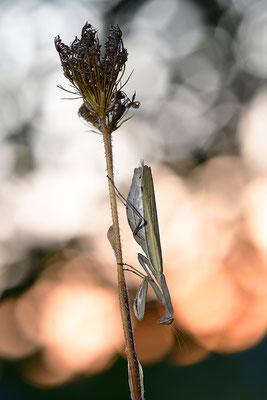 Gottesanbeterin Weibchen im Gegenlicht