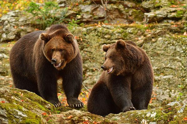 Braunbären, Nationalpark Bayrischer Wald Tierfreigelände Neuschönau