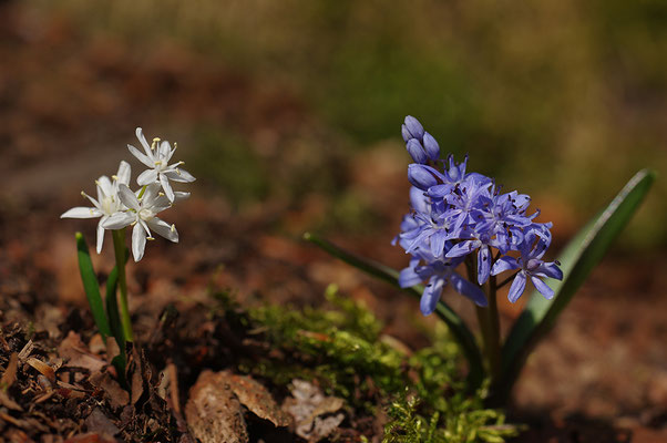 Blaustern mit weißer Form
