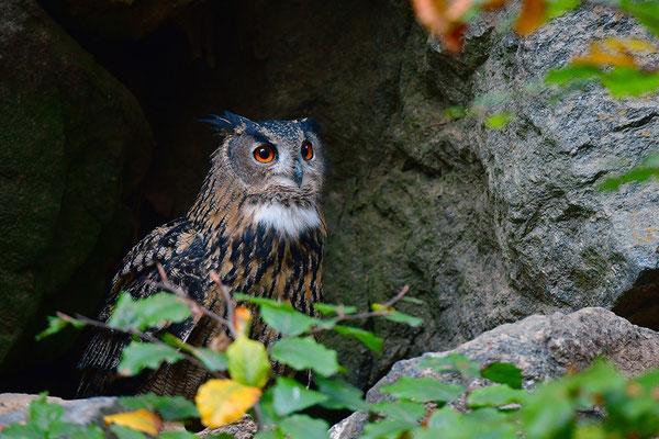 Uhu balzend, Nationalpark Bayrischer Wald Tierfreigelände Neuschönau