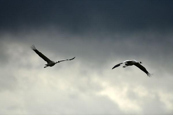 Kraniche im Flug