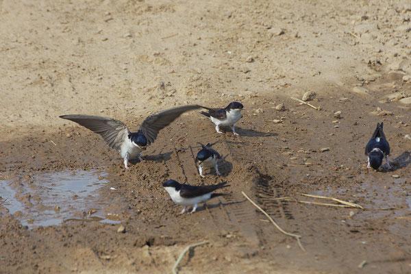 Mehlschwalben sammeln Lehm