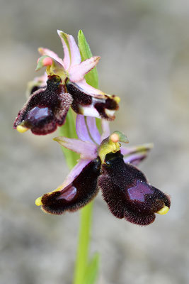 Balearische Ragwurz Doppellippige Blüte