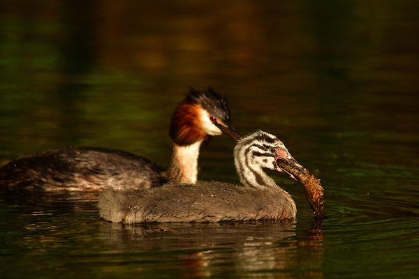 Haubentaucher Jungvogel mit Altvogel