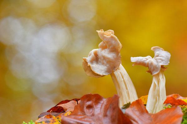 Herbstlorchel