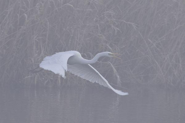 Silberreiher im Flug im Nebel