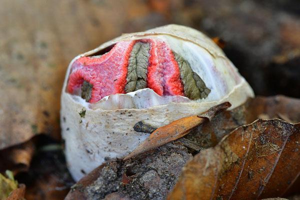 Tintenfischpilz